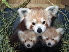 RED PANDA PICTURES - Google Search