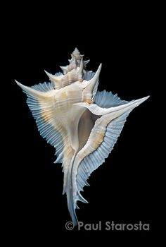 Alabaster Murex (Siratus alabaster) - found in the waters around Japan, Taiwan, and down to the Philippines. Jewel Of The Seas, Shell Collection, Shell Beach, Foto Art, Shell Art, Ocean Life, Marine Life, Natural World, Sea Creatures