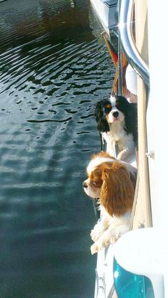 Cavaliers on board - absolutely precious King Charles Puppy, Cavalier King Charles Dog, King Charles Spaniel, Cavalier King Spaniel, Cocker Spaniel Puppies, Beautiful Dogs, I Love Dogs, Best Dogs, Cute Puppies