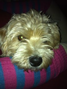 Widget our Sporting Lucas Terrier!