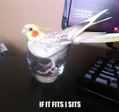 cockatiel cocktail!!  haha.. this is pretty much what happens!