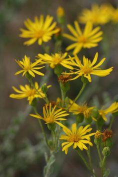 Native Florida Wildflowers: Florida goldenaster - Chrysopsis floridana