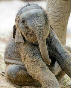 These adorable creatures give me a big injection of revitalizing and healing love. I love them @elephantparadefan - Elephant Fact Friday . . For info about promoting your elephant art or crafts send me a direct message @elephant.gifts or email elephantgifts@outlook.com . Follow @elephant.gifts for beautiful and inspiring elephant images and videos every day! . #elephant #elephants #elephantlove