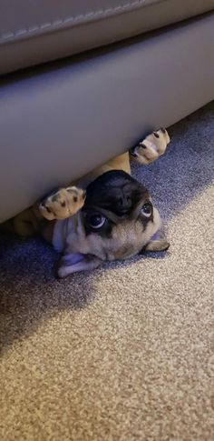 """Determine more info on """"fawn pugs"""". Look into our website. Cute Pugs, Cute Funny Animals, Cute Baby Animals, Funny Dogs, French Bulldog Puppies, Dogs And Puppies, Cute Pug Puppies, Pug Dogs, Baby Pugs"""