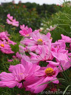 Cosmos bipinnatus in a garden