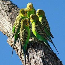 Cute Birds, Pretty Birds, Beautiful Birds, Animals Beautiful, Wild Budgies, Parakeets, Bird Pictures, Animal Pictures, Animals And Pets