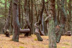 Anomalous Zone of Dancing Trees - English Russia Crooked Forest, All Pictures, Mystic, Cool Photos, Russia, Plants, Forests, Image, Trees