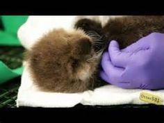 Precious precious Otter 501 (3 days old)