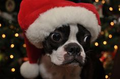 Santa leave that Boston Terrier under the tree for me!