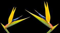 """Photos, illustrations et vidéos de """"oiseau de paradis"""""""