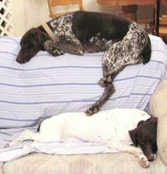 German Shorthaired Pointers are so funny!  They always want to have at least on foot on their friend or their person.