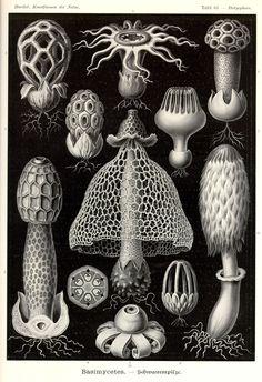 Basimycetes by Ernst Haeckel;  Kunstformen der Natur, 1900