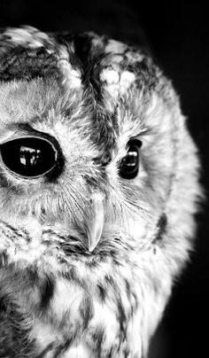 Black n white owl