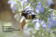 Bumblebees: vital pollinators of our flowers, food crops and native plants