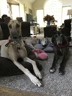 """We call them the goon squad. Ages 9, 8, and almost 2"" /r/greyhounds 23/11/16"