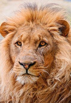 Portrait of the male lion by Tambako the Jaguar