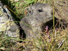 Vanoise - Marmotte - Refuge des Evettes  #marmotte #vanoise #hautemaurienne #alpes #faune #montagne #mountain