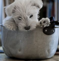 Lily the Westie (in a jam pan!)