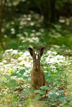 Beautiful Hare by oneshotonepic ...Hi! My name is Flopsy Mopsy! ;)