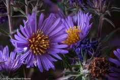 New England Aster (S. novo-angliae) flowers make tea, bu the roots are the source for fever, catarrh and pain. Why? It contains methyl salicylate, which is an active compound in aspirin!