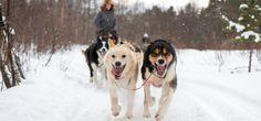 Trineo perros husky viaje Laponia - Husky safari travel Lapland