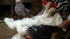 H&M (temporarily) stops making angora goods after a public outcry over a video showing how angora fur is harvested. In China, it is legal to pluck fur from live rabbits, and some think it makes for better fur.