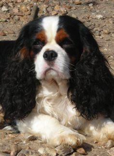 Black Tricolor Cavalier King Charles Spaniel - -sweet, loving, happy dogs!.