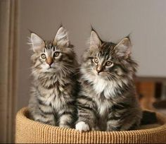 Norwegian Forest Cats | Norwegian Forest Cat Breed Info & Pictures | petMD
