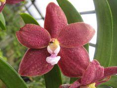 Trichovanda Thai Velvet 'Meechai' - by Siaogu Vanda Orchids, Orchid Flowers, Ways To Show Love, Orchidaceae, All Plants, Botany, Planting Flowers, Beautiful Flowers, Cactus