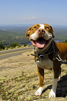 pit bulls have the best smiles! :)