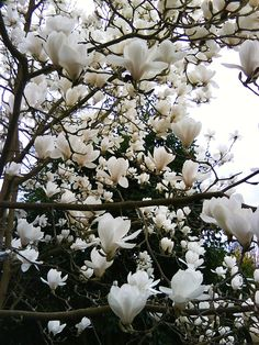 Lovely white Magnolia blooms...