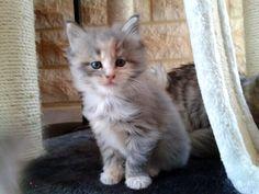 Jazz, trop #cute sur son arbre à chat ! #chaton --- verlina.com ---