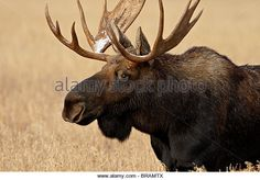 Bull Moose (Alces alces) with snow on its antlers, Grand Teton National Park, Wyoming, United States of America, North America - Stock Image
