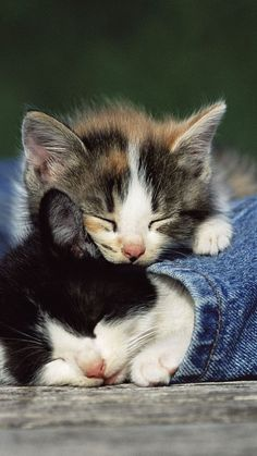 Gatos bonitos e jeans wallpaper Kittens And Puppies, Cute Cats And Kittens, Kittens Cutest, Ragdoll Kittens, Feral Kittens, Cats Meowing, Tabby Cats, Bengal Cats, Pretty Cats