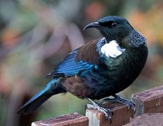 Beautiful Birds, Animals Beautiful, Tattoo Maori Perna, Tui Bird, Birds Online, New Zealand Art, Nz Art, Viewing Wildlife, Kiwiana