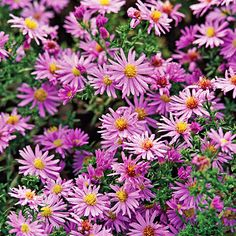 Aster – Another butterfly favorite, this fall blooming perennial comes in sizes from creepers, to 4 feet tall.