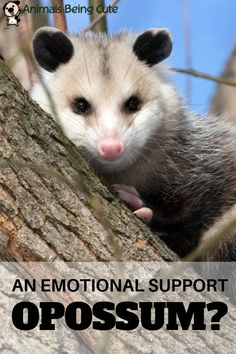 You've heard about emotional support dogs, cats, and sometimes even other animals. But opossums? Opossum Facts, Cute Baby Animals, Funny Animals, Inspirational Animal Quotes, Easy Pets, Pet Clinic, Animal Memes, Animal Photography