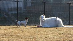 Borzoi & Jack Russell Terrier