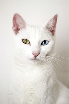 Odd-eyed white cat  Canvas Print