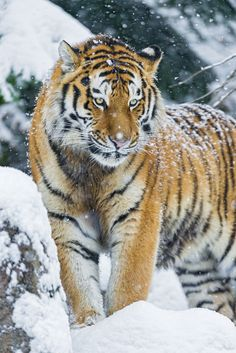 Wildlife Treasures, Tigers. 100s of Wildlife Treasures.     http://www.pinterest.com/njestates1/wildlife-treasures/    Thanks To http://www.njestates.net/real-estate/nj/listings