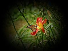 Monarch Butterfly has landed on a Larry Bennett Daylily bloom at MTBobbins Daylilies in Winchester, New Hampshire in New England.