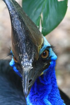 | endangered species 'Cassowary' |