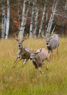 thecountryroad: I got dibs on the cutie with the curly tip tail Funny Hunting Pics, Deer Hunting Humor, Whitetail Deer Hunting, Whitetail Bucks, Whitetail Deer Pictures, Deer Photos, Nature Animals, Animals And Pets, Cute Animals
