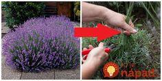 Nejde len o to, že kvety využijete, ale levanduľu zároveň správne zastrihnete tak, aby mohla byť krásna a kompaktná aj o rokov, či dva. Flora, Ale, Plants, Decor, Decoration, Decorating, Ale Beer, Dekorasyon, Plant