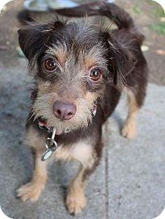 Washington, PA - Chihuahua Mix. Meet Taco, a puppy for adoption ...