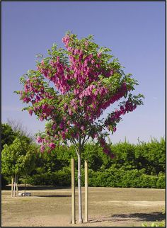 Purple Robe Locust Tree ~ providing large, early purple-pink blossoms. New foliage is bronze red. Fast growing. Takes cold as well as hot dry weather. Mature height is 50 feet with a spread of 32 feet. Co l d h a r d y t o U.S.D.A. Zone 3. ~Tree bark is reddish brown to gray develops fissures and cracks. Wood is brittle and limbs tend to break on older trees.