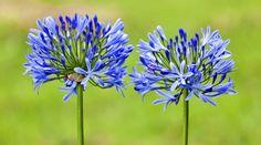 Agapanthus Pflege: Blaue Blütenbälle im Garten