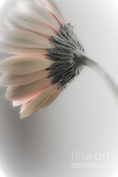 Chrysanthemum Petals 1 Photograph by Jo Ann Tomaselli - Chrysanthemum Petals 1 Fine Art Prints and Posters for Sale jo-ann-tomaselli.artistwebsites.com #joanntomaselli #fineartphotography #landscapephotography