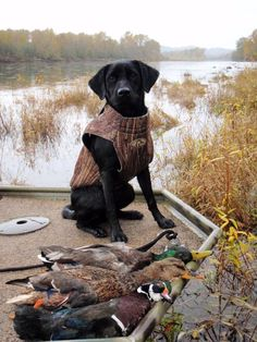 Kenai the Duck Dog (7 months old)