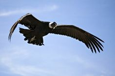 known and enjoy a show like no other, the flight of condor in the Colca Canyon.